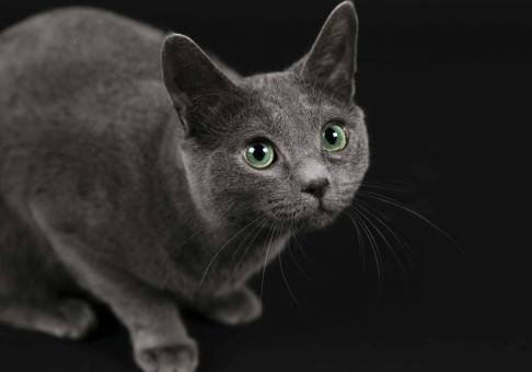 MorLove-Pet-Photographer-Studio-Russian-Blue-Cat