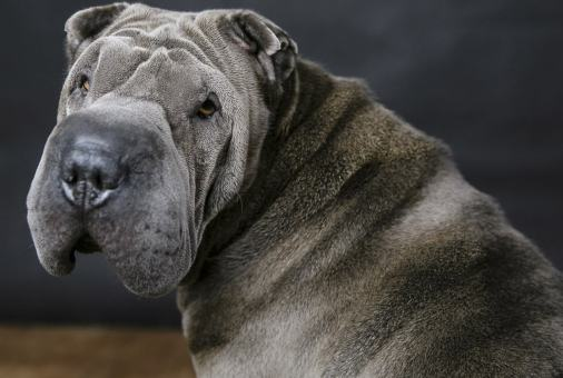 MorLove-Pet-Photographer-Studio-Shar-Pei