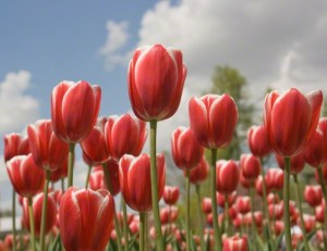 red-tulips-760411-gallery