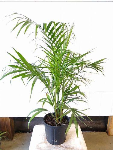 Majesty Palm (Ravenna rivularis)