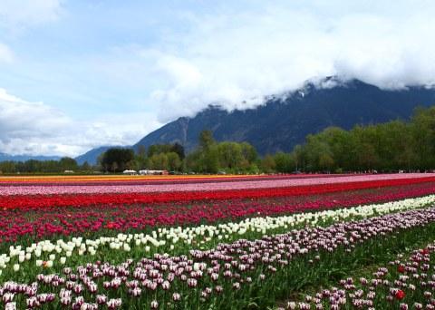 Agassiz Tulip Festival in BC, Canada