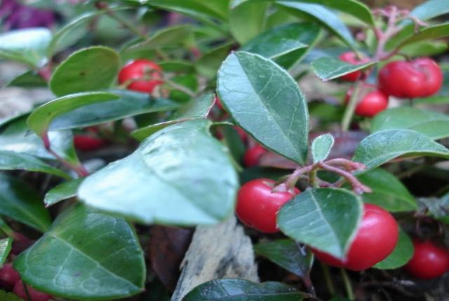 Tea Berry