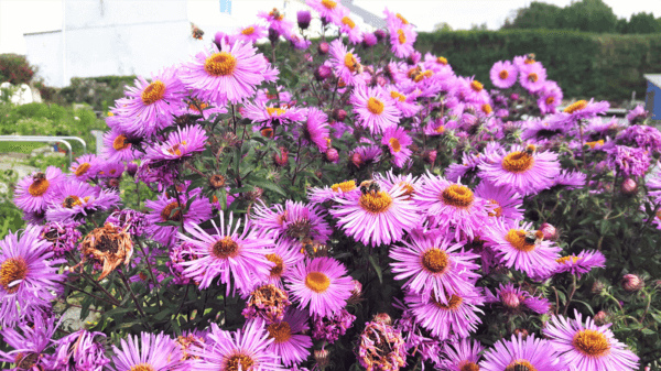 Symphyotrichum novae-angliae (New England Aster) - an ideal plant for pollinators