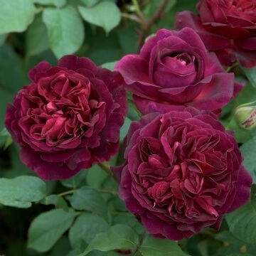 A red rose, 'Munstead Wood' bred by David Austen