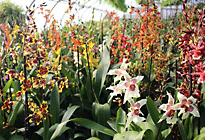 Orchids at Stony Hill Farm