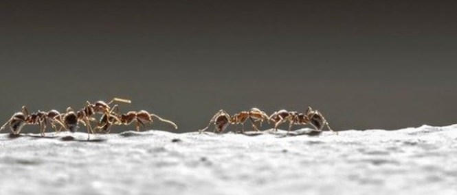 Argentine Ants Crawling Over A Trap