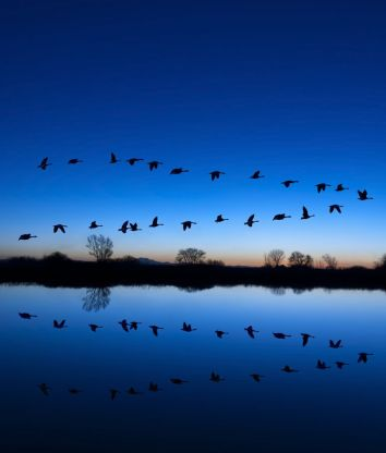 Reflection of Canadian geese flying over wildlife refuge on a blue evening ** Note: Slight graininess, best at smaller sizes