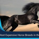 Most Expensive Horse Breeds Most Luxurious List