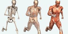 ما هي مكونات الهيكل العظمي