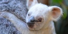 بالصور أغرب معلومات مدهشة عن حيوان الكوالا