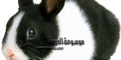 معلومات عن الارنب الهولندي .. تعرف على أصول وسلوك الأرانب الهولندية وكيفية العناية بها