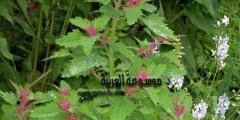 معلومات عن نبات الرمرام