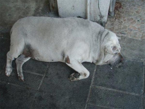 dog-looks-like-pig-mother-humor