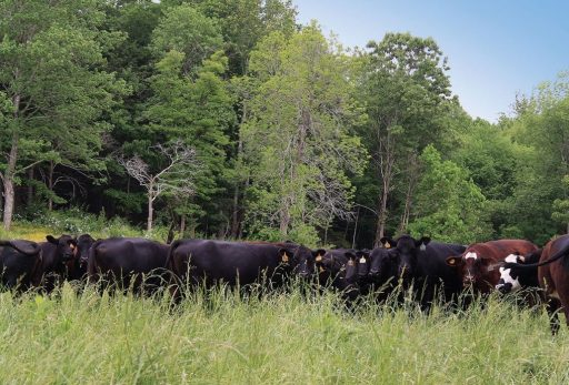 Cattle eating grass in front of a forest.