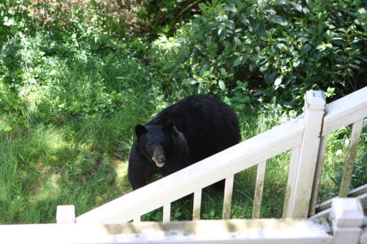 black bear by staircase in backyard in Sammamish