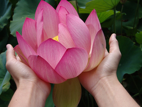 Photograph of huge lotus flower blossom.