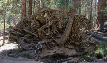A huge network of roots of a fallen sequoia