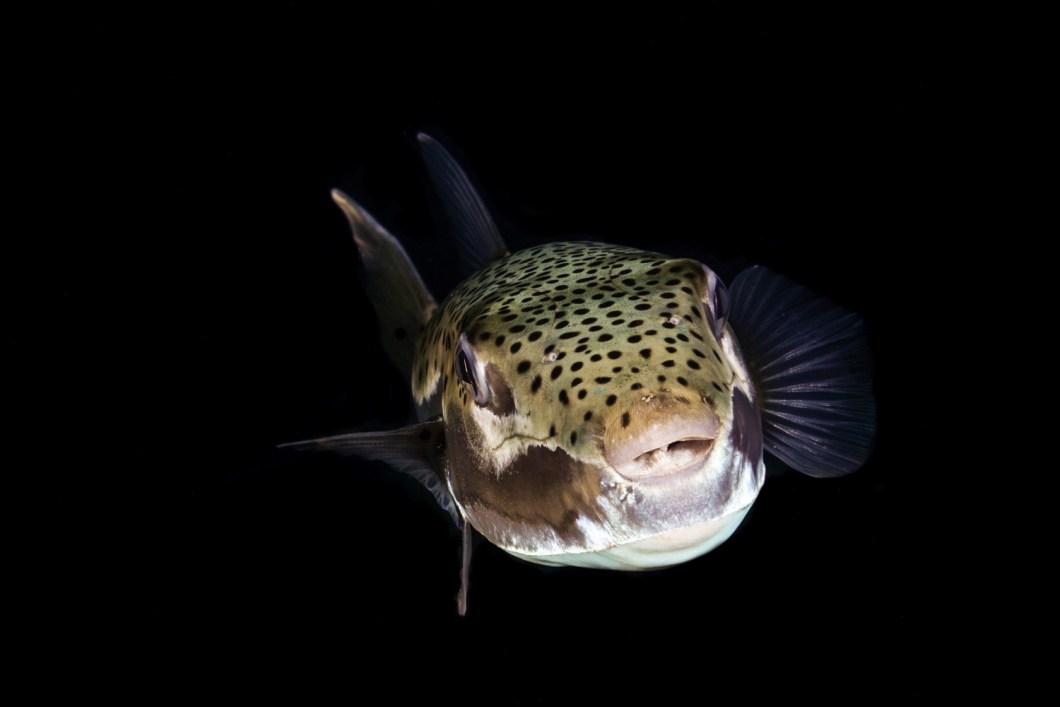 Çanlar denizlerimiz için çalıyor - Balon Balığı