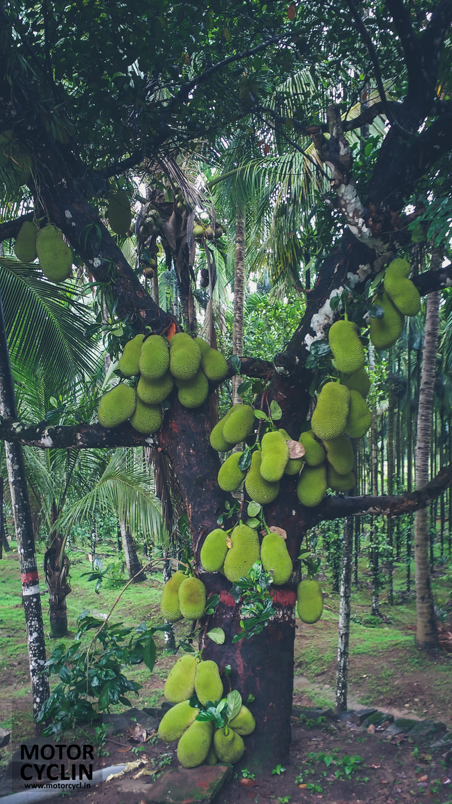Kolavara Heritage jack-fruit tree