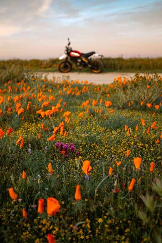 Ducati motorcycle in a field of flowers showing context