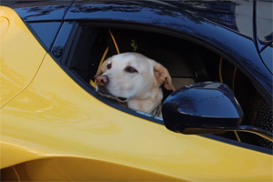 Dog in Ferrari LaFerrari