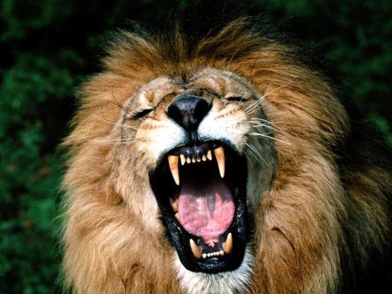 daniels-lion