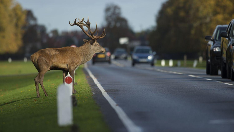Deer danger to drivers