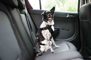 62331811 – dog with sticking out tongue sitting in a car seat