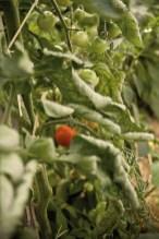 Un plant de tomate cerise
