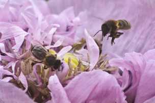 abeilles-pavot