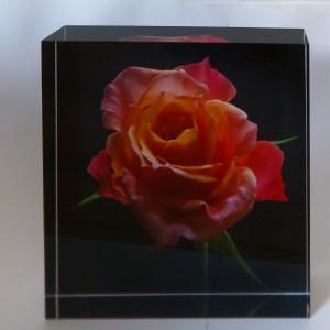 Miniature Rose - Brian Salisbury