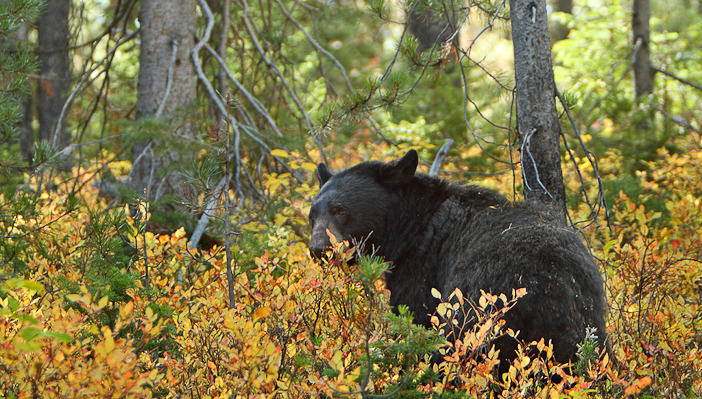 A black bear eating huckleberries. Photo by Alan Vernon.