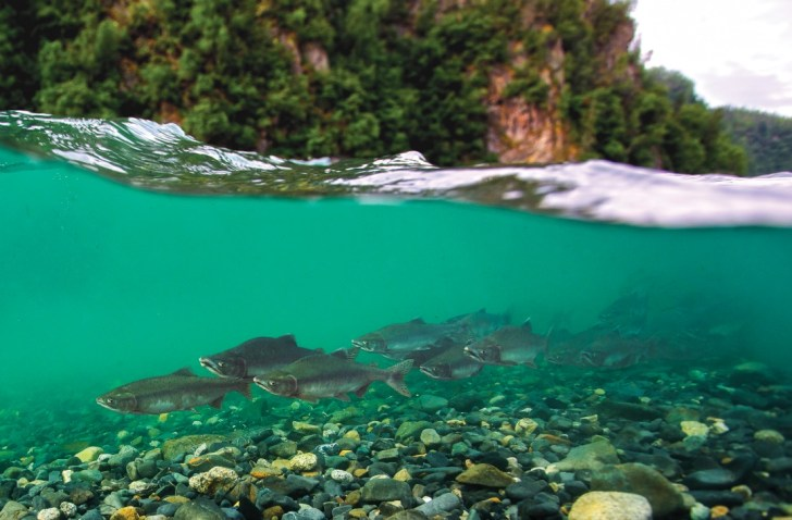 A pod of wild pink salmon swim up the pristine and free flowing Susitna River just below the site of a proposed mega dam being pushed by the State of Alaska in a scene from DAMNATION. Photo: Matt Stoecker