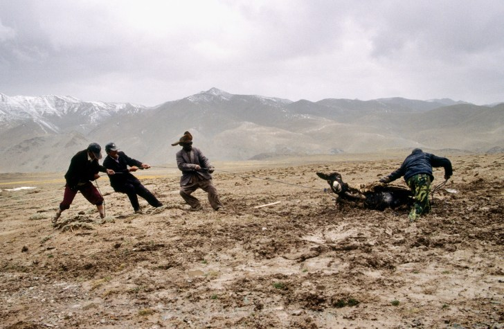 Uygur and Kirghiz extract loaded donkey from a bog, Kunlun range expedition, north side of Changtang Plateau, Tibet/Xinjiang region. China. 2001.