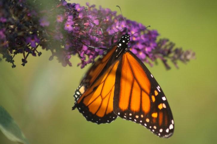 Monarch1_scottP