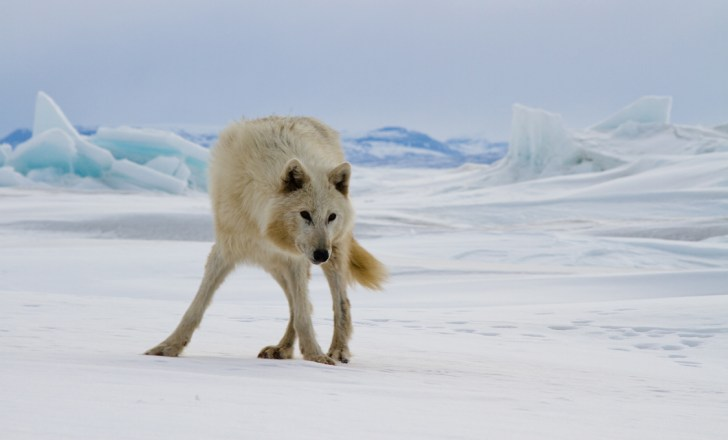 Photo of wolf on ice