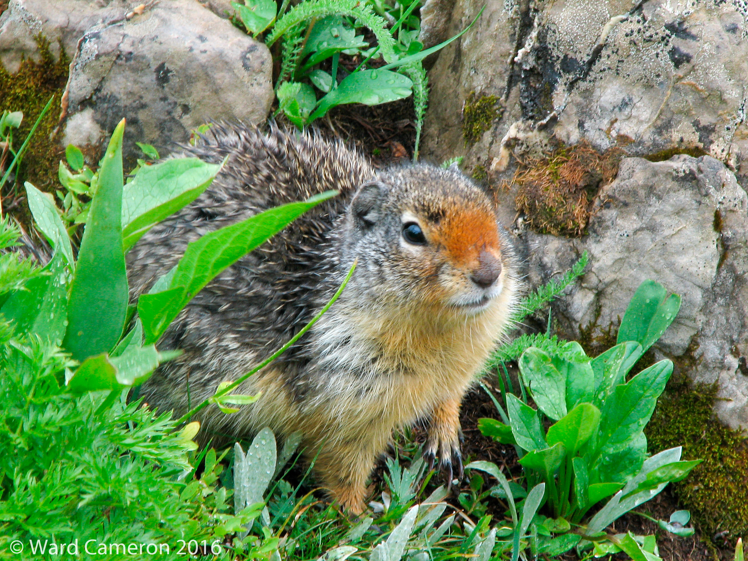 photo of a Columbian ground squirrel
