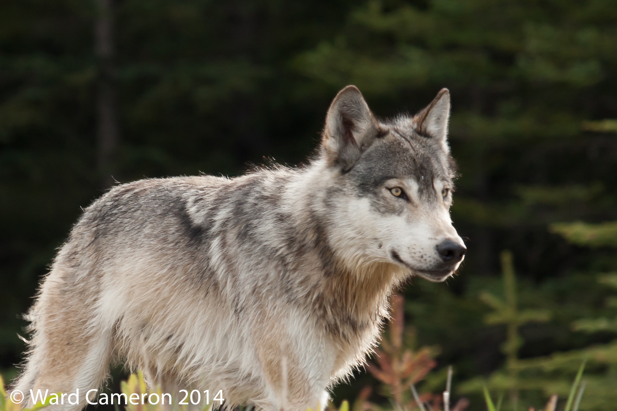 Gray Wolf in Kootenay National Park