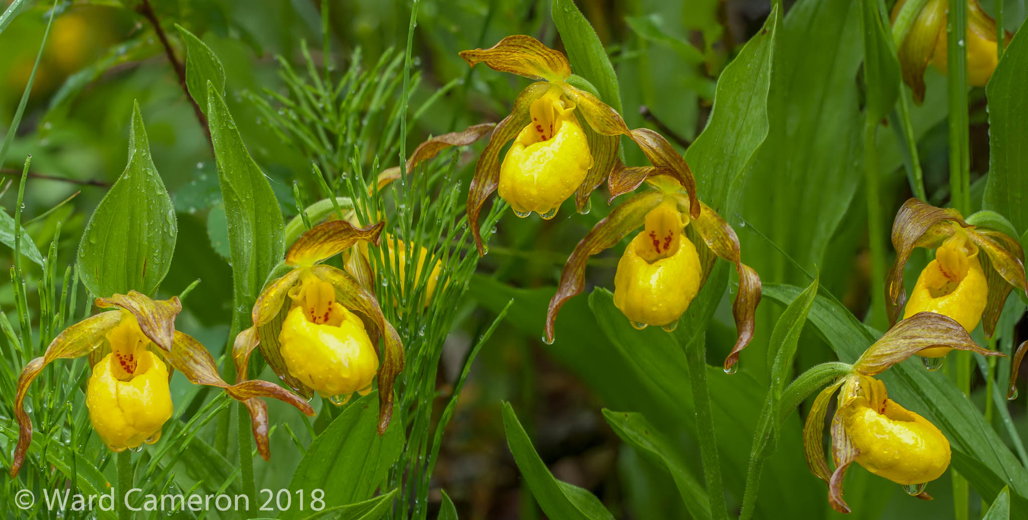 photo of yellow ladyslippper orchids