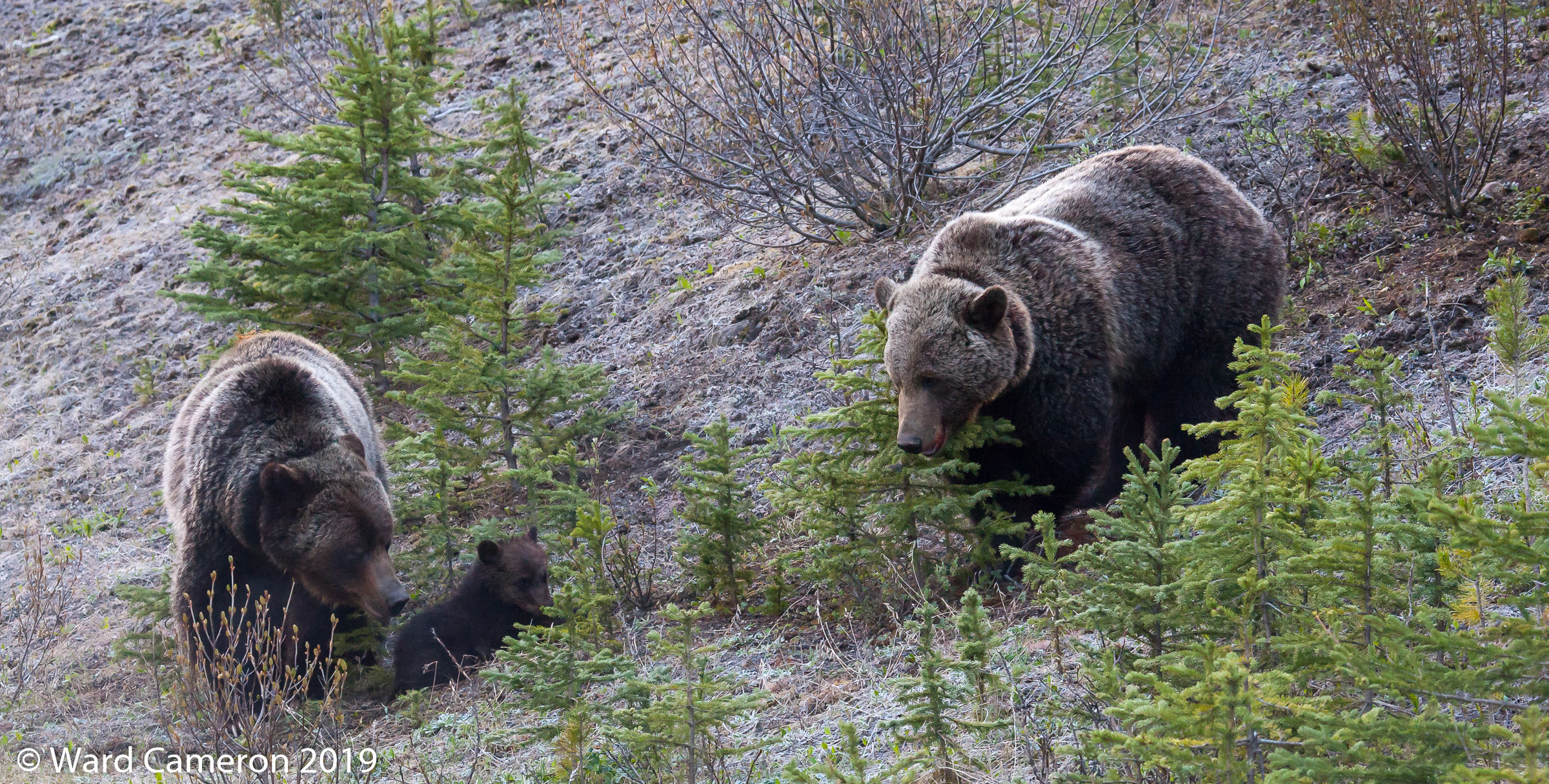 075 Grizzly bears emerge from their winter dens, and Montana's