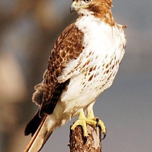 red_tailed_hawk_11