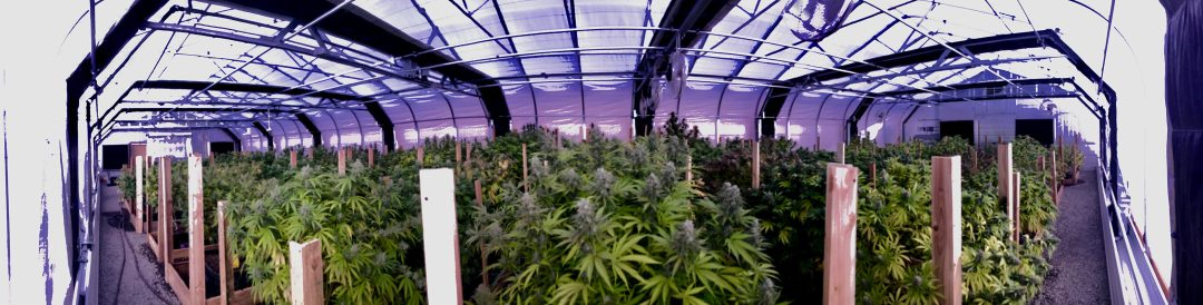 Greenhouse-grown flower strains available now from Mountain Sun Botanicals