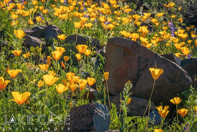 mexican gold poppy arizona