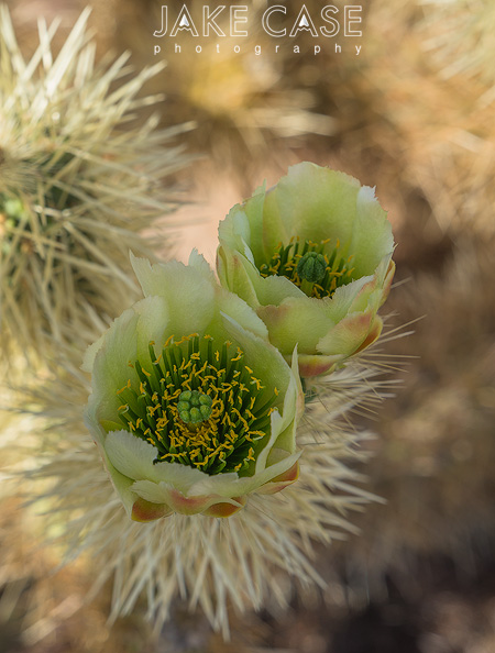 teddy bear cholla arizona wildflowers