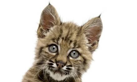Bobcat–America's Shadow Stalker