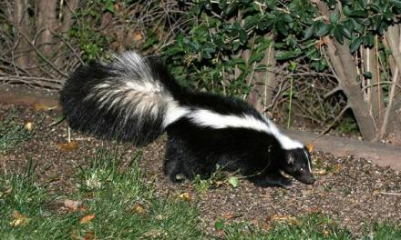 The Sassy, Stinky Skunk