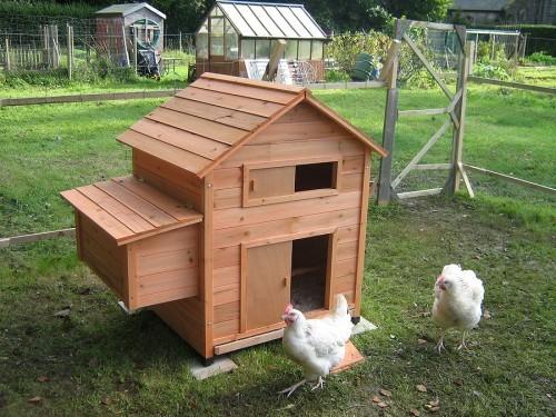 Chicken Care Basics