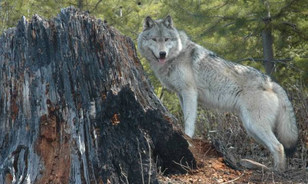 Grey Wolf OR 7 Visits Lassen and Plumas Counties
