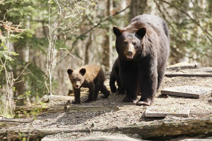 WHEN BEARS SLEEP, Cubs Arrive