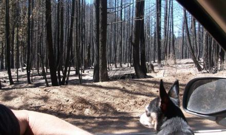 The Mysterious Aftermath Of The Chips Forest Fire